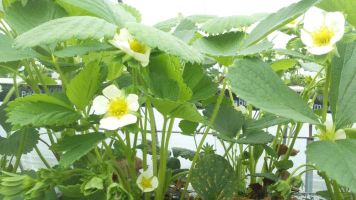 05 mai 2017 Fleurs de friaisers qui laisseront place aux premiers fruits d'ici quelques semaines ...