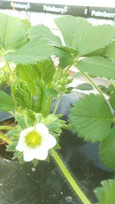 Belle et grosse fleur de fraisier ...