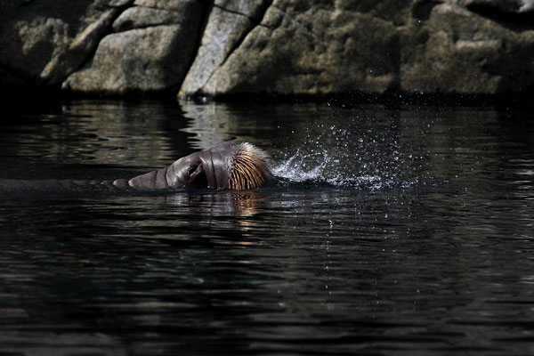Walross bläst, Tierpark Hagenbeck-Hambunrg