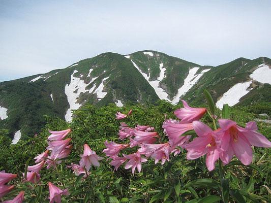 7月初旬の残雪残る大朝日岳とヒメサユリの群生