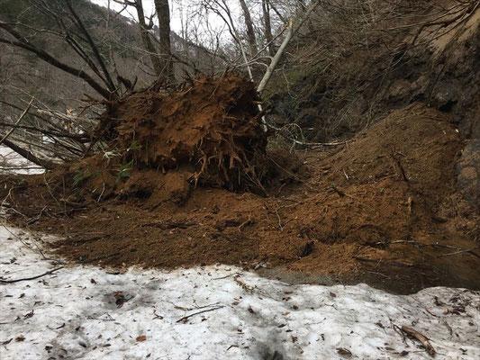 朝日鉱泉の700mほど手前。斜面の大きな崩落とミズナラの巨木の倒木