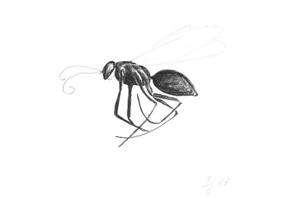 Insekt unbekannt, in Fensterrinne gefunden,Bleistift auf Papier