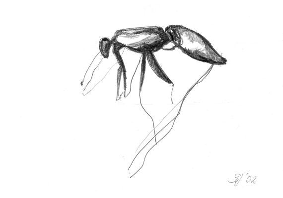 Insekt Unbekannt, Bleistift auf Papier