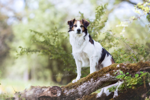 Kromfohrländer Sommerfoto Hundefoto