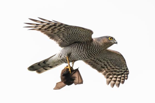 Sperber mit Fledermaus (Accipiter nisus & Nyctalus  noctula) Sparrow Hawk with Bat
