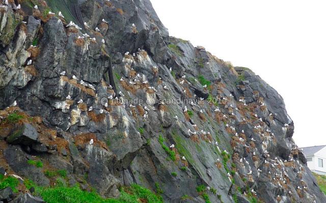 Les colonies de goélands sur les falaises de Nykvåg