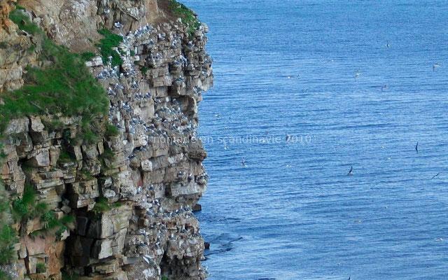 Les oiseaux nichent nombreux dans les falaises d'Ekkeroy