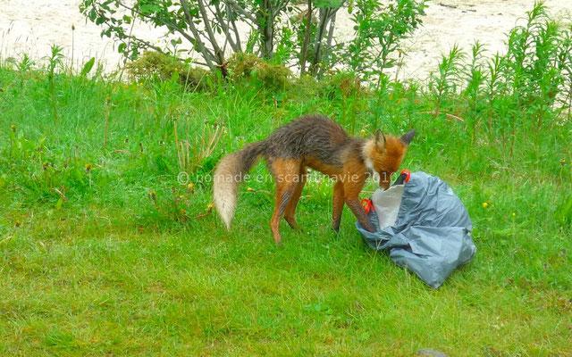 Un renard emporte notre poubelle
