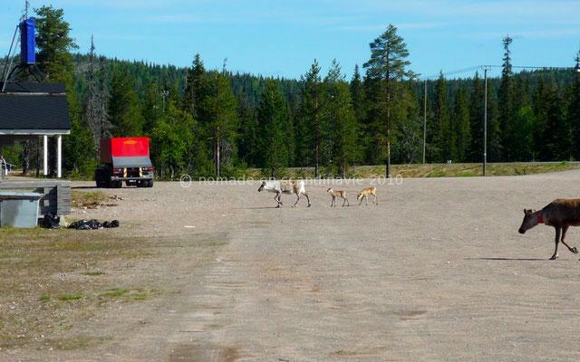 Nous photographions des rennes qui viennent nous rendre visite.