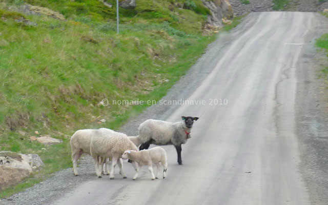 Des moutons divaguent sur la route