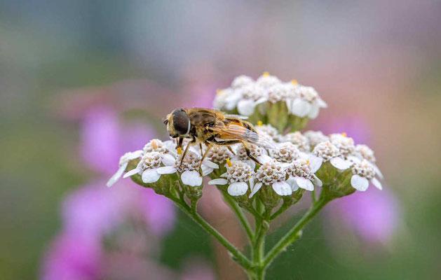 Biene von Achim Höfler