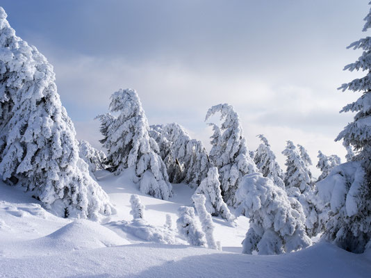 Winterliche Fichten am Brocken I Nationalpark Harz