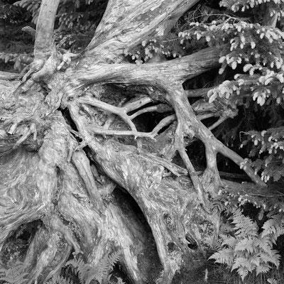 Fichtenwurzel am Lusen I Nationalpark Bayerischer Wald