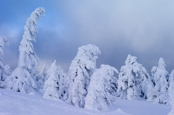 Winterfichten am Brocken I Nationalpark Harz