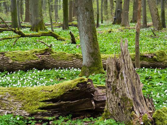 Buschwindröschen im Nationalpark Hainich