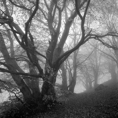 Buchen im Nebel I Knüll I Nordhessen