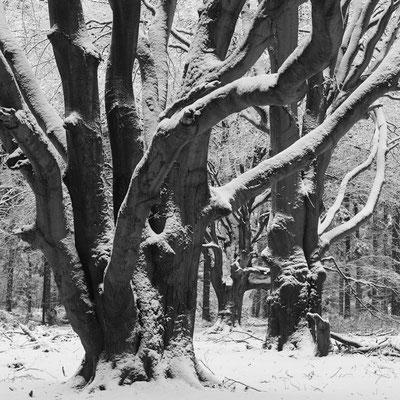 Buchen im Winter I Tinner Loh I Emsland I Niedersachsen