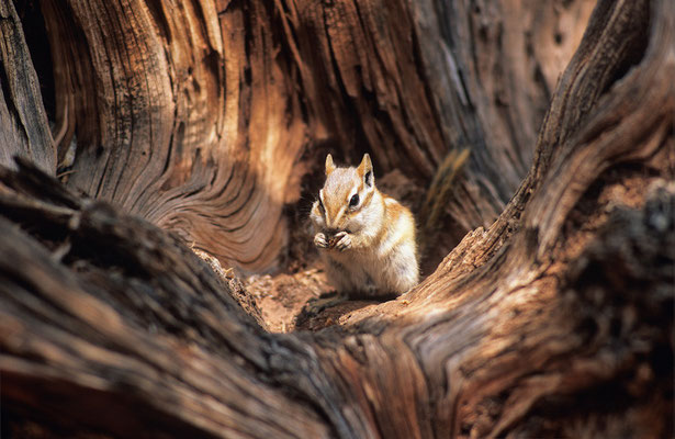 Chipmunk I Streifenhörnchen I Tamias minimus I Dead Horse Point State Park I Utah