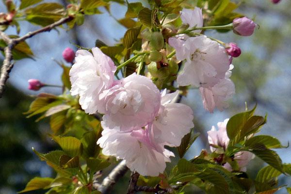 桜の尾根のササベザクラ