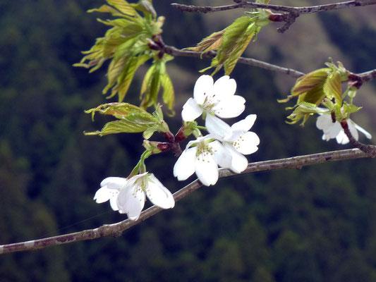 花が白いきれいなカスミザクラです