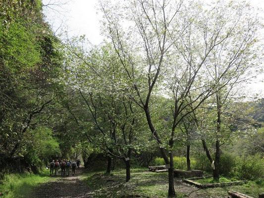 廃線入口のオオシマザクラ