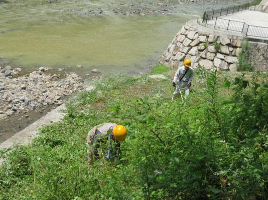 廃線敷入口武庫川/僧川合流点オオシマザクラ植樹地で草に埋もれて草刈り