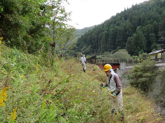 僧川左岸市桜植樹地 野放図に伸びた雑草を刈払機で刈り取り