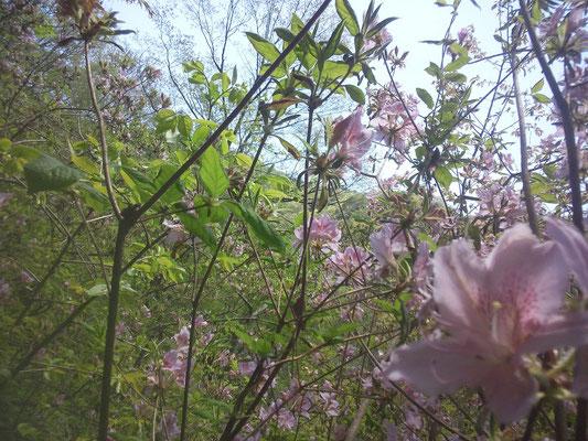 モチツツジはもう咲いています(1)