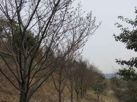 開花している木はまだありませんでした