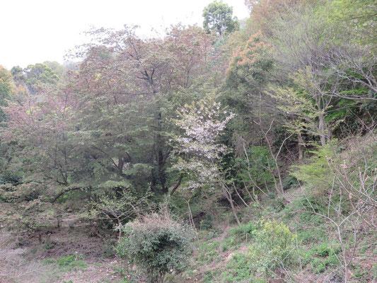 3日に満開のヤマザクラは葉のみでした