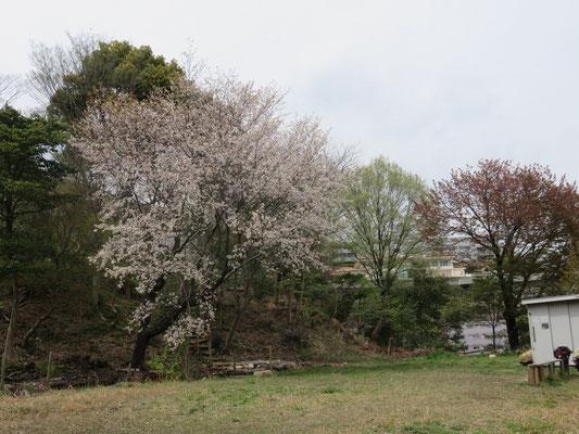 広場の遅咲き株のヤマザクラのみが咲いていました