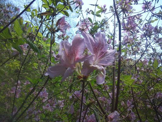 モチツツジはもう咲いています(2)