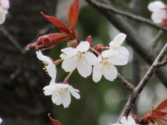 ヤマザクラの特徴である赤い葉が出ています。