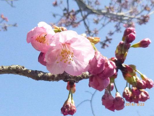ピンクの花びらが印象的です