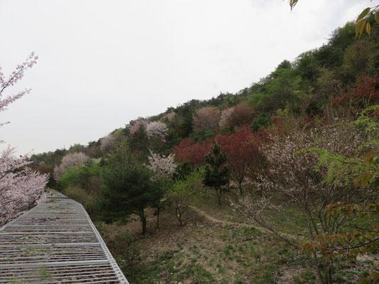 赤く見えるのが陽光桜の散った跡