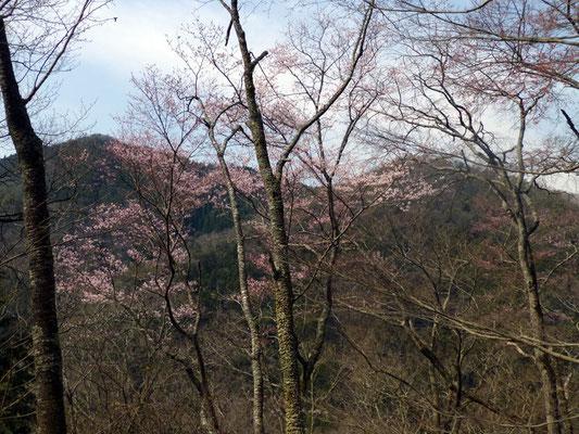 桜坂上のエドヒガン