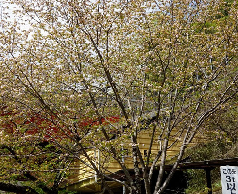 JR武田尾駅前のカスミザクラ 葉桜状態