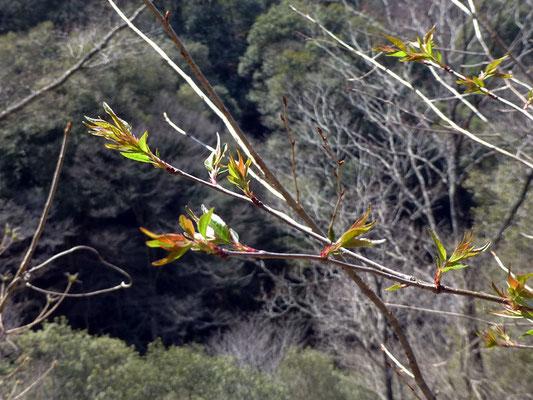 コナラ林の実生桜は、葉の形状からウワミズザクラ?