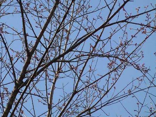 エドヒガンの花芽は固く、開花までもう暫く