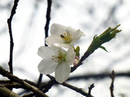 オオシマザクラ一番咲き