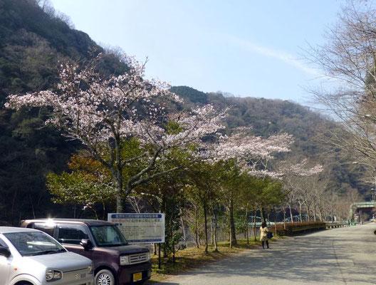 バス通りのソメイヨシノ