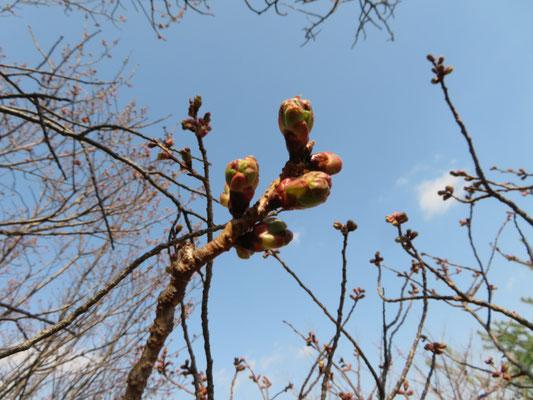 陽光桜の蕾ふくらむ