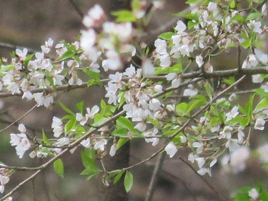 淡墨桜のアップ写真