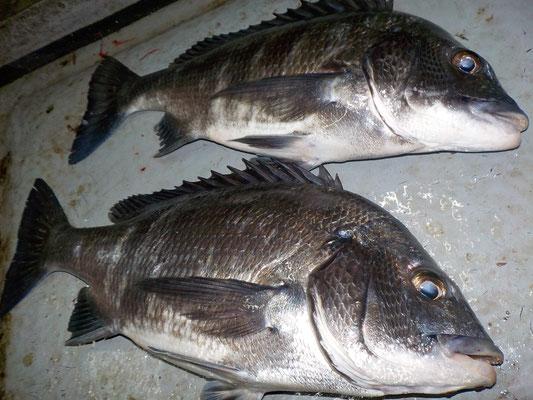 3月4日 磯釣りで渡辺さん チヌ2匹