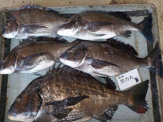 4月2日 磯釣りで有田さん ガバチヌ53.7㎝を頭に5匹