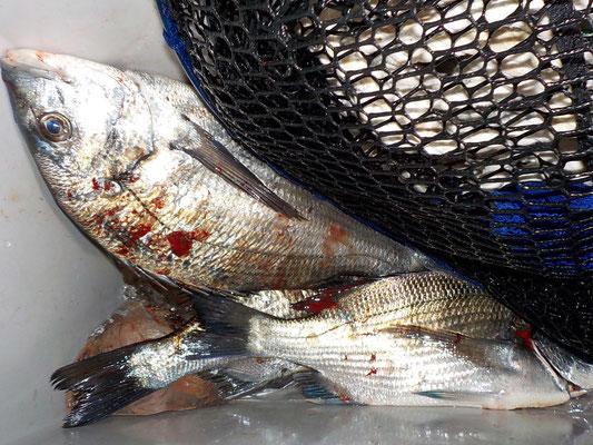 4月5日 磯釣りで西本さん チヌ、メイタ、アジ