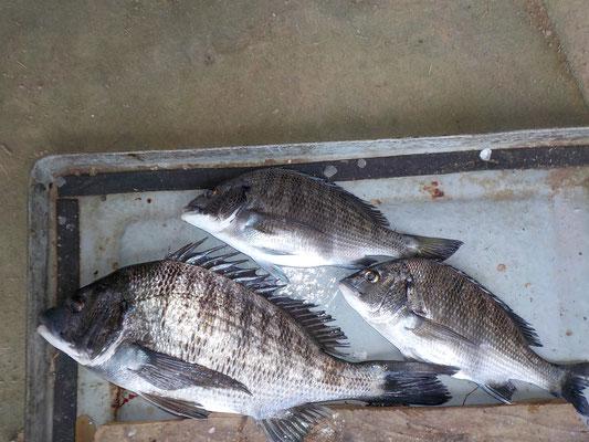 3月9日 磯釣りで中尾さん チヌ、メイタ3匹