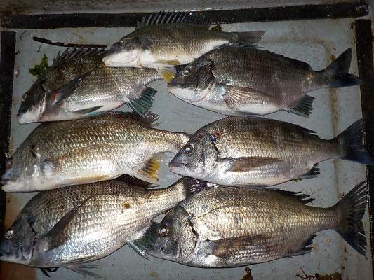 4月2日 磯釣りで吉永さん チヌ、メイタ7匹