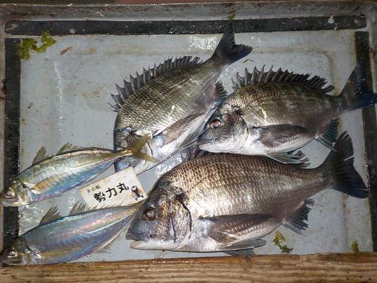 4月3日 磯釣りで岩澤さん チヌ41㎝を頭に3匹 アジ29㎝を頭に2匹