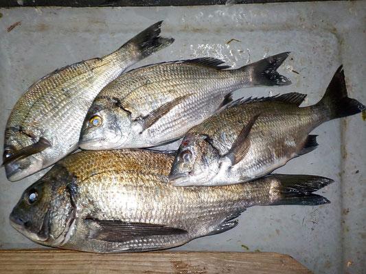 4月3日 磯釣りで志垣さん チヌ42㎝を頭に4匹